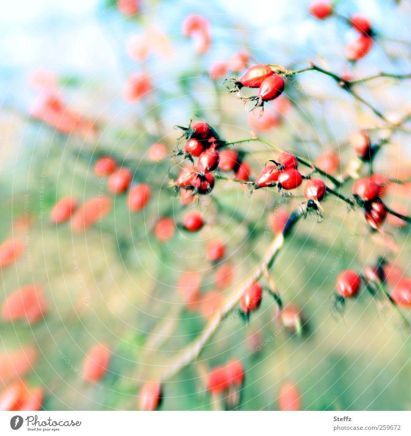 Hagebutten im Wind windig Beeren Beerensträucher Herbstsonne Sträucher Wildpflanze Rose Pastellfarben schönes Wetter grün rot Herbsttag Farbfleck