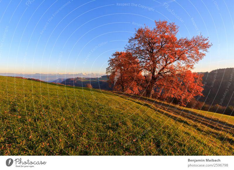 Herbstlicher Baum in der Abendsonne Himmel Natur blau Pflanze Farbe grün Landschaft rot ruhig Ferne Wege & Pfade orange Feld Idylle