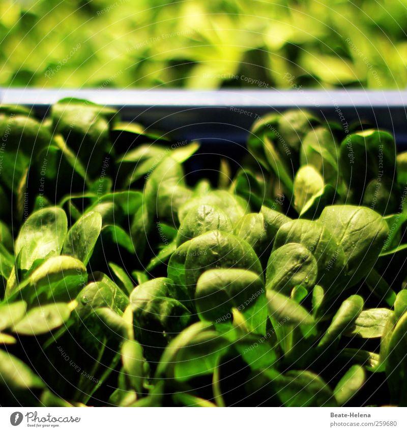 Da haben wir den Salat Lebensmittel Salatbeilage Ernährung Vegetarische Ernährung Gesundheit Pflanze füttern lecker grün Energie genießen Feldsalat frisch