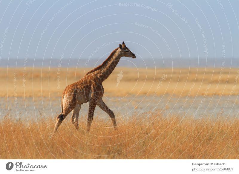 Giraffe in der Savanne Wüste Etoscha-Pfanne Tier Wildtier 1 gehen gelb gold Einsamkeit Freiheit ruhig Tourismus Farbfoto Außenaufnahme Textfreiraum links