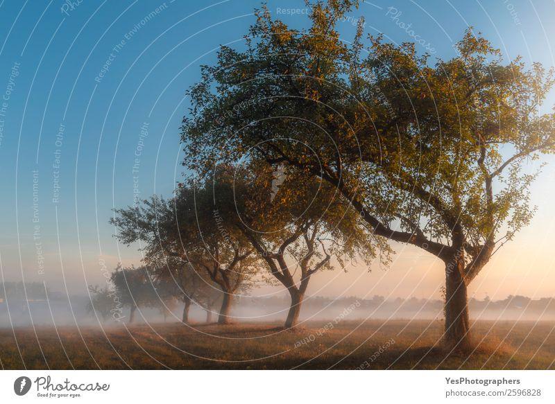 Apfelplantage bei Sonnenaufgang im Nebel Natur Landschaft Herbst Schönes Wetter Baum Wiese träumen Fröhlichkeit hell Surrealismus Symmetrie Deutschland Oktober