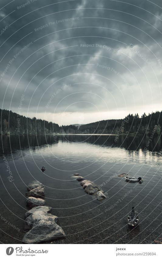 Vor dem Sturm Himmel Natur blau Wasser Wolken Tier schwarz ruhig Wald dunkel Landschaft See braun Vogel Schwimmen & Baden bedrohlich