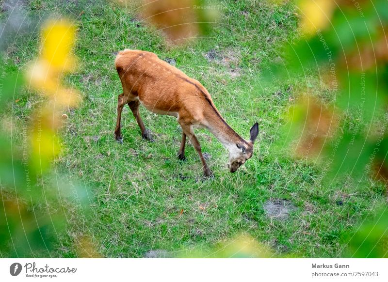 ein Rotwild auf der grünen Wiese Essen schön Sommer Frau Erwachsene Natur Landschaft Tier Gras Wald Fluggerät Pelzmantel Fressen stehen Coolness frisch