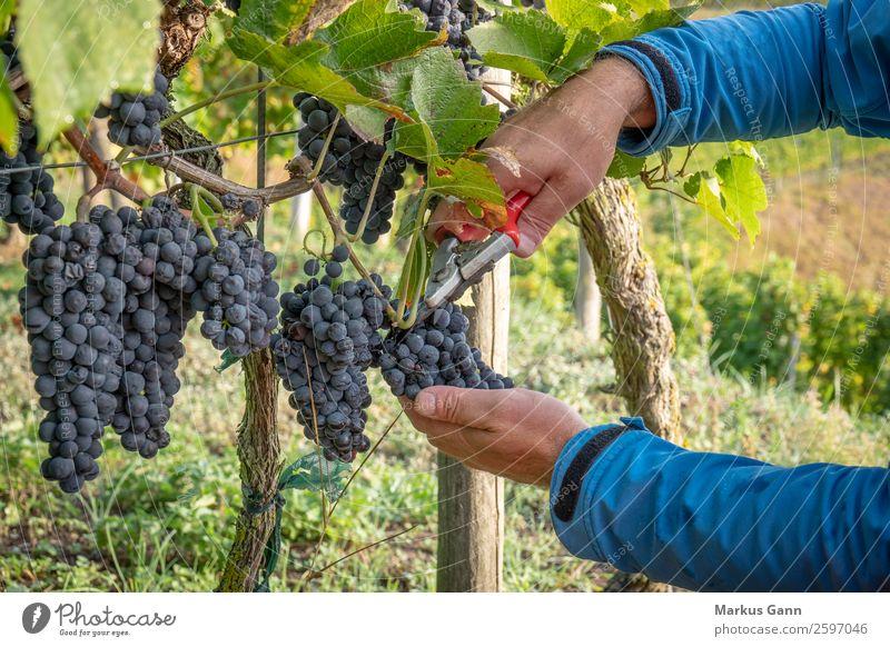 ein Weinberg rote Traubenlese Schere Hand Natur frisch blau grün Weintrauben Ernte reif Lebensmittel purpur Ackerbau Haufen erhängen Feldfrüchte Fokus Pinot