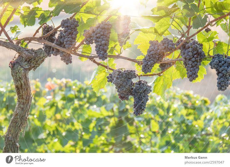 Rote Weintrauben im Gegenlicht Sonne Natur Pflanze frisch hell grün Weinberg reif purpur erhängen Feldfrüchte Weingut Blatt rot Ernte Farbfoto Nahaufnahme