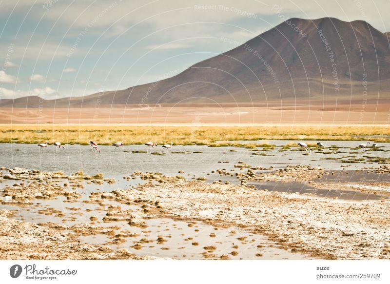 Atacama Sommer Berge u. Gebirge Umwelt Natur Landschaft Urelemente Erde Himmel Klima Schönes Wetter See Flamingo hell Chile Südamerika Pastellton