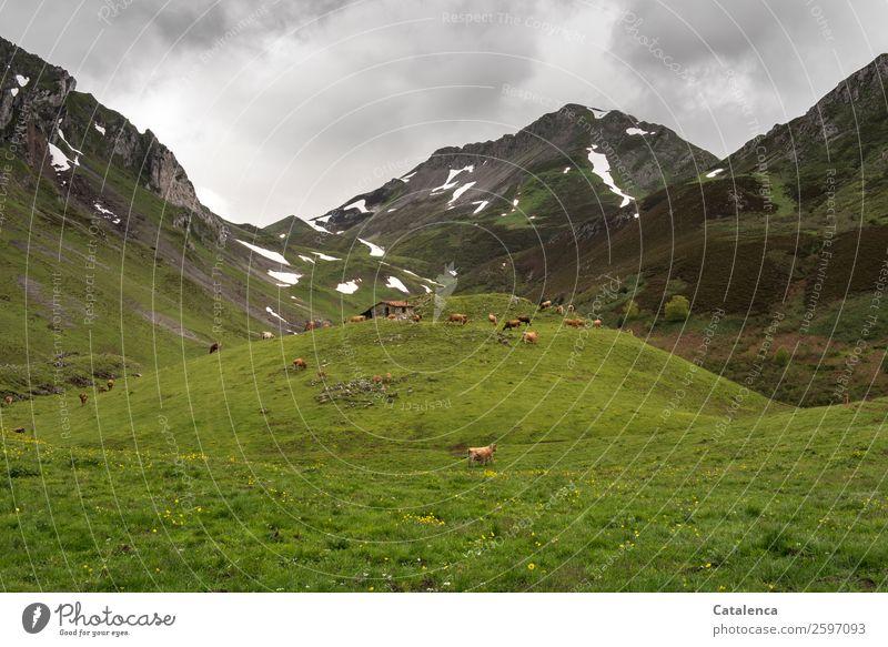 Auf der Alm wandern Umwelt Natur Landschaft Pflanze Tier Gewitterwolken Frühling schlechtes Wetter Schnee Berge u. Gebirge Hütte Hirtenhütte Nutztier Kuh