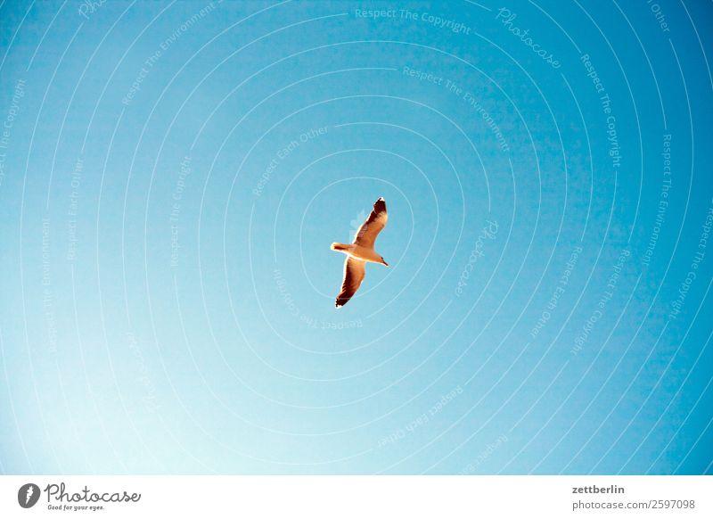 Möwe again Vogel Meeresvogel Flügel fliegen fliegend Vogelflug Gleitflug Einsamkeit einzeln Himmel Himmel (Jenseits) Wolkenloser Himmel Blauer Himmel himmelblau