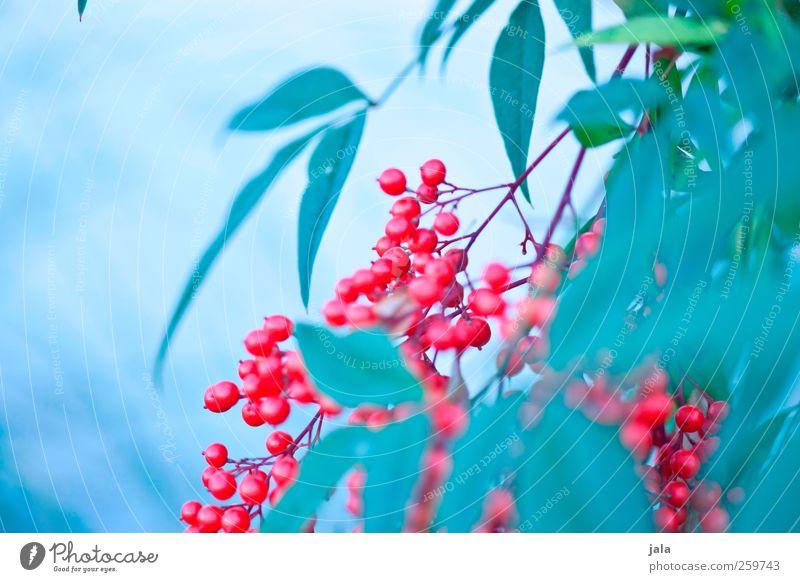 beerenbusch Umwelt Natur Pflanze Sträucher Blatt Beeren Beerensträucher ästhetisch natürlich blau grün rot Farbfoto Außenaufnahme Menschenleer