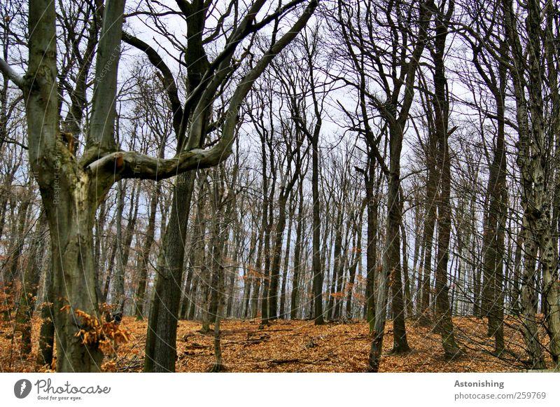 Wald im Winter Umwelt Natur Landschaft Pflanze Erde Himmel Herbst Wetter Baum Blatt stehen hoch blau braun rot schwarz Baumstamm Geäst Ast Wurzelgemüse