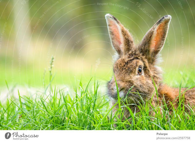 Kaninchen im Frühjahr Essen Sommer Ostern Natur Tier Gras Wiese Pelzmantel Haustier beobachten klein niedlich wild braun grau grün weiß Hase & Kaninchen