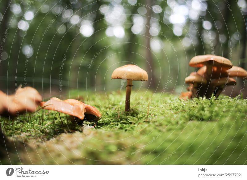 Ein Pilz, mittig, daneben weitere Pilze. Unten Moos. Natur Pflanze Herbst Schönes Wetter Waldboden stehen frisch klein natürlich saftig Sauberkeit braun grün