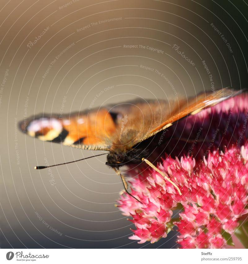 Blick in die Kamera Umwelt Natur Pflanze Sommer Blume Blüte Garten Deutschland Schmetterling Flügel Fühler Auge Tagpfauenauge Augenfalter schön natürlich braun