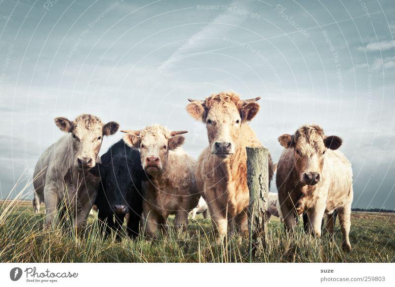 Boss Hosser Bioprodukte Natur Tier Wiese Nutztier Kuh Tiergruppe Herde natürlich niedlich schön Tierliebe Landleben Biologische Landwirtschaft Milchwirtschaft