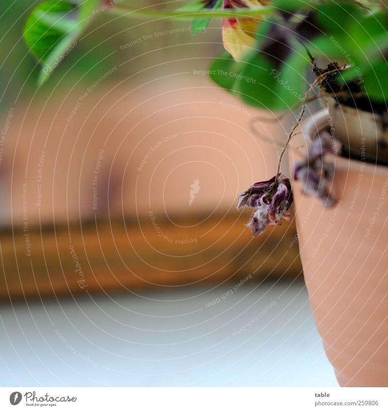 ausgepowert Häusliches Leben Wohnung Dekoration & Verzierung Natur Pflanze Blatt Grünpflanze Topfpflanze Klee Kleeblatt Glücksklee alt hängen verblüht