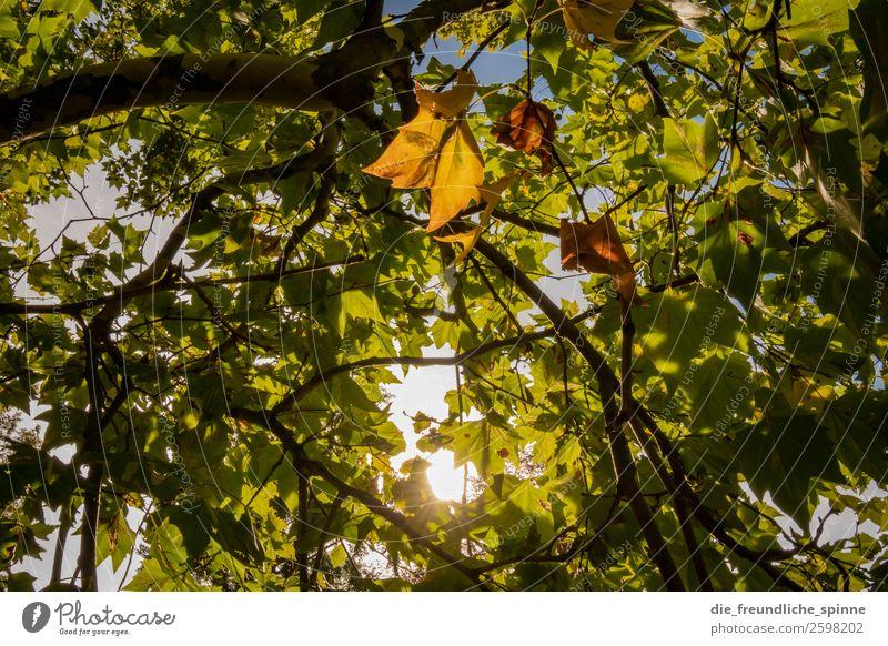 Herbstlaub Natur Landschaft Pflanze Luft Himmel Wolkenloser Himmel Sonne Wetter Schönes Wetter Baum Blatt Wald Hahnenklee Goslar Deutschland Europa Dorf