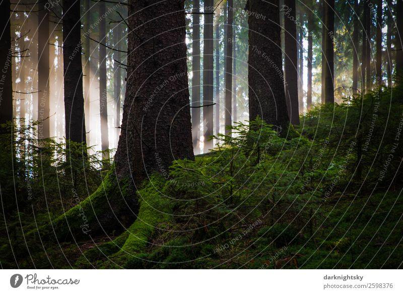 Tannenwald mit Sonnenlicht Strahlen Umwelt Natur Landschaft Pflanze Luft Himmel Sommer Klima Schönes Wetter Nebel Baum Moos Grünpflanze Wald alt groß klein grün