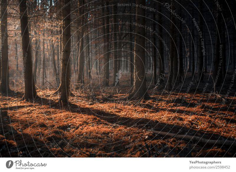 Natur Landschaft dunkel natürlich träumen Nebel Schönes Wetter Jahreszeiten Moos Dunst Zauberei u. Magie Oktober Märchenwald