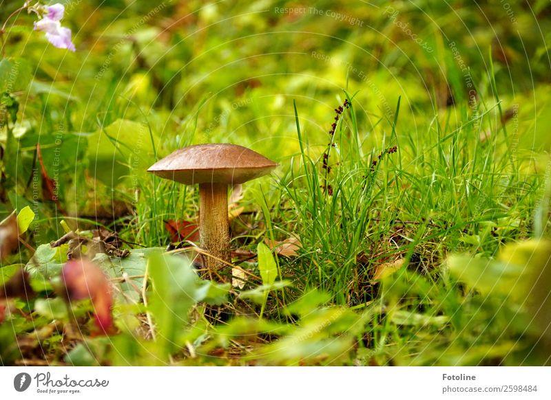 Es gibt sie doch! Umwelt Natur Landschaft Pflanze Urelemente Erde Herbst Gras Wald hell nah natürlich Wärme Pilz Pilzhut Birkenpilz herbstlich Herbstlaub