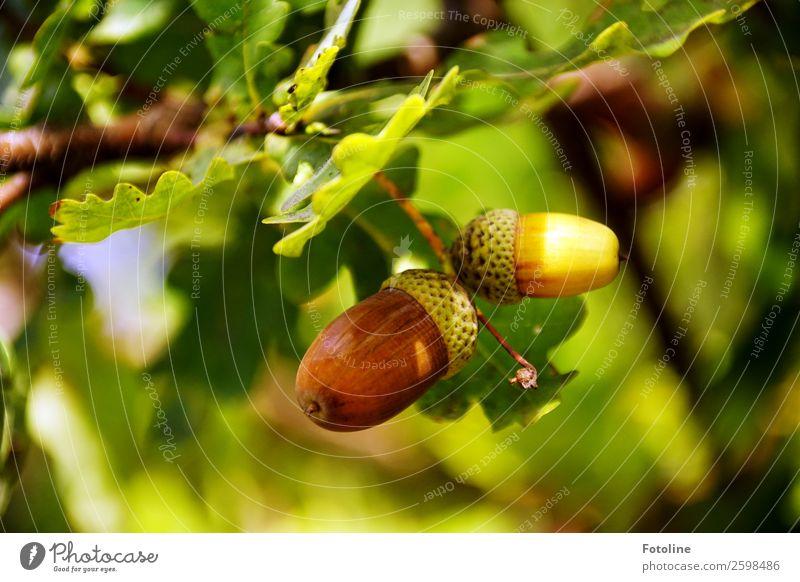 Traumherbst Umwelt Natur Pflanze Herbst Schönes Wetter Baum Blatt Wildpflanze Wald hell nah natürlich Wärme braun mehrfarbig grün Eiche Eichenblatt Eicheln