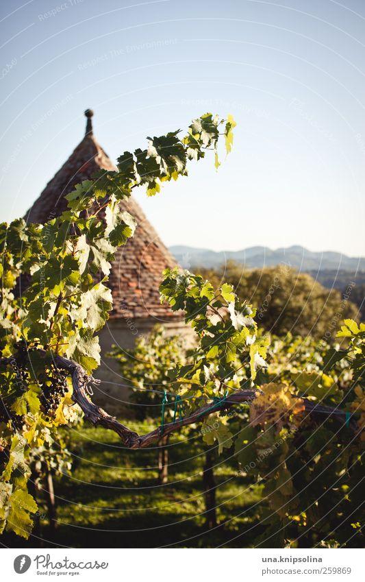 im wein lügt die wahrheit Natur Pflanze grün Landschaft Blatt Berge u. Gebirge Umwelt Wärme Herbst natürlich Gebäude Schönes Wetter Dach Wein Wolkenloser Himmel