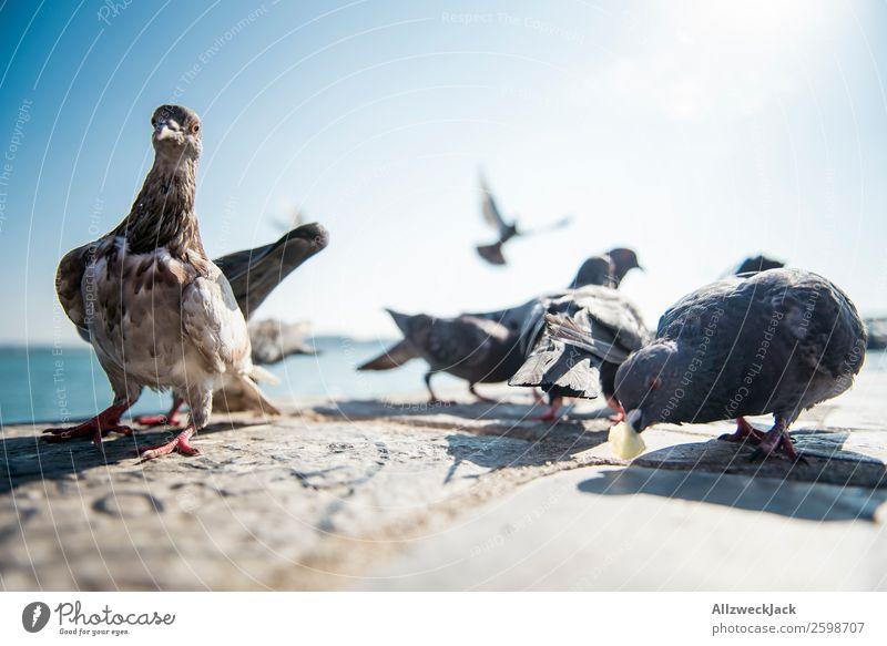 Taubenballett 3 Tier Vogel mehrere Tiergruppe Menschenleer Sommer Sonne Schönes Wetter Blauer Himmel Wolkenloser Himmel Nahaufnahme Tierporträt Tanzen