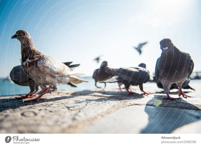 Taubenballett 4 Tier Vogel mehrere Tiergruppe Menschenleer Sommer Sonne Schönes Wetter Blauer Himmel Wolkenloser Himmel Nahaufnahme Tierporträt Tanzen
