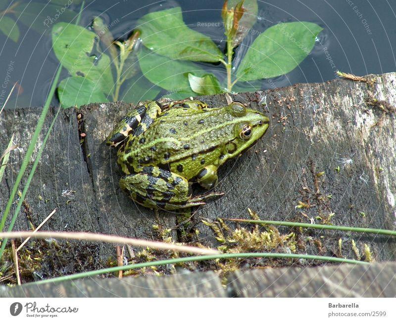 Verwunschener Prinz grün Glätte Verkehr Frosch Amphibion Wasserbewohner Kröte