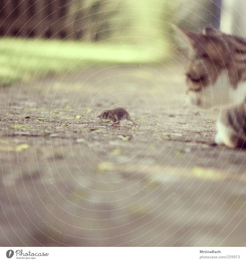 catch me if you can. Tier Haustier Nutztier Katze Maus 2 fangen Jagd kämpfen mausetot Fressen Farbfoto mehrfarbig Außenaufnahme Nahaufnahme Experiment
