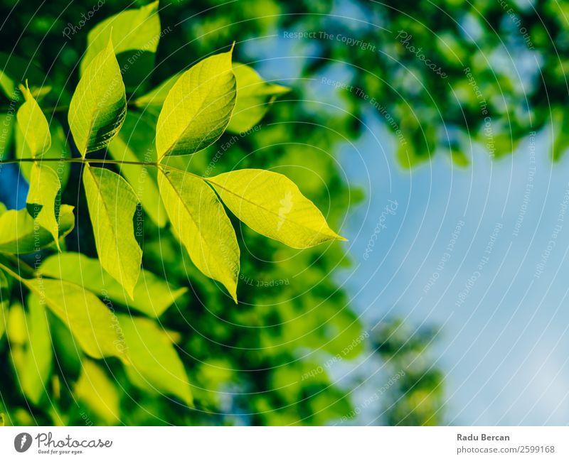 Hinterleuchtete frische grüne Baumblätter im Sommer Blatt Hintergrundbild hintergrundbeleuchtet Frühling Natur Pflanze Ast natürlich Umwelt hell Wachstum Sonne