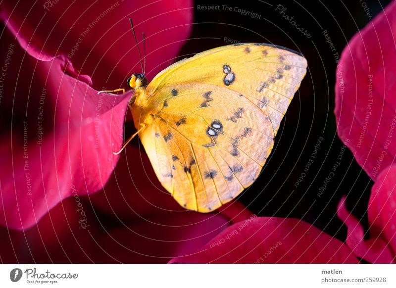 schwarzrot-gold Pflanze Tier Schmetterling 1 hängen Weihnachtsstern deutlich Farbfoto Makroaufnahme Menschenleer Tag