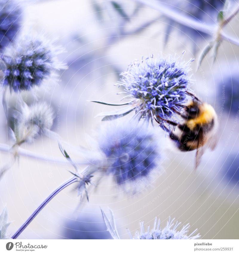 Aufklärung für die lieben Kleinen. Natur Pflanze Frühling Blume Blüte Wiese Tier Wildtier Biene Flügel Hummel 1 Blühend Fressen hängen hocken krabbeln Liebe