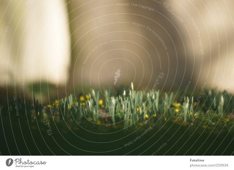 Frühling 2012! Ehrlich!!! Umwelt Natur Landschaft Pflanze Sonnenlicht Schönes Wetter Blume Grünpflanze Garten Park nah natürlich braun grün weiß Schneeglöckchen