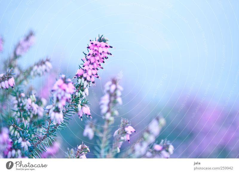 erika Umwelt Natur Pflanze Frühling Blume Blüte ästhetisch natürlich blau grün rosa Bergheide Farbfoto Außenaufnahme Menschenleer Textfreiraum rechts