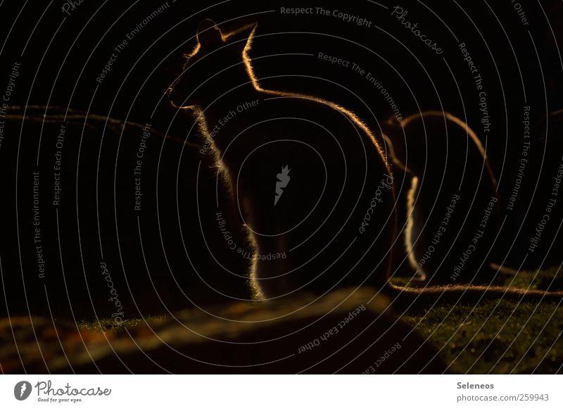 Sonnenkinder Ferien & Urlaub & Reisen Sommer Tier dunkel Gras Ausflug Abenteuer Tourismus stehen Tiergruppe Sommerurlaub Expedition Safari Känguruh