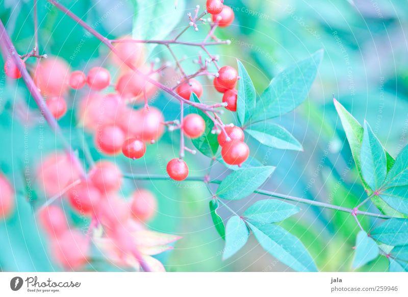 beerenbusch Umwelt Natur Pflanze Sträucher Blatt Beerensträucher ästhetisch natürlich blau grün rot Farbfoto Außenaufnahme Menschenleer Tag