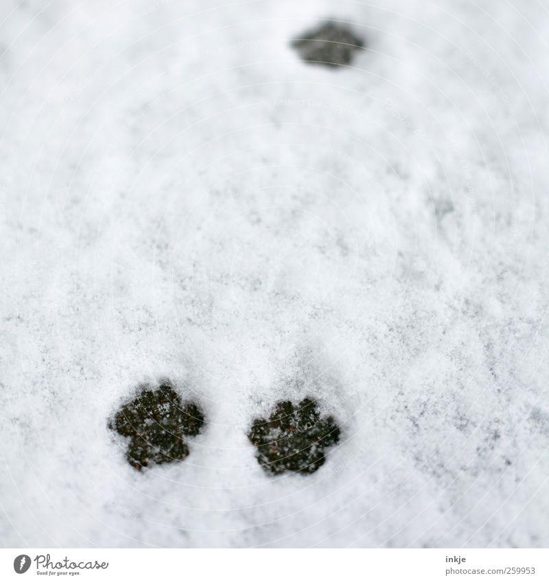 tapp tapp ...................tapp Katze weiß Winter Umwelt kalt Schnee Gefühle Wege & Pfade Bewegung klein braun Klima laufen natürlich nass Beginn