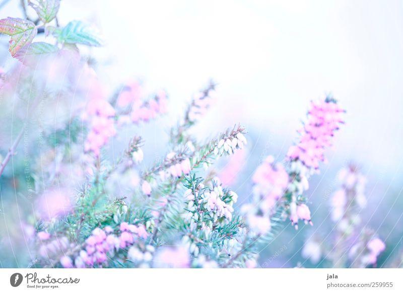 in love with erika Umwelt Natur Pflanze Frühling Blume Blüte ästhetisch hell natürlich blau grün rosa weiß Farbfoto Außenaufnahme Menschenleer