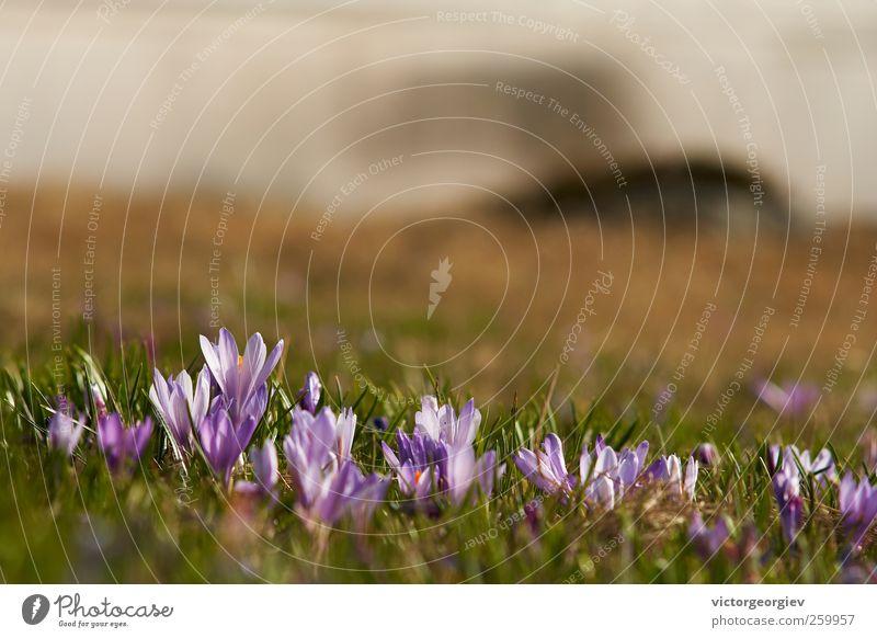 Crocus veluchensis Umwelt Natur Landschaft Pflanze Frühling Sommer Blume Gras Wildpflanze Wiese Feld Hügel Berge u. Gebirge natürlich schön grün violett