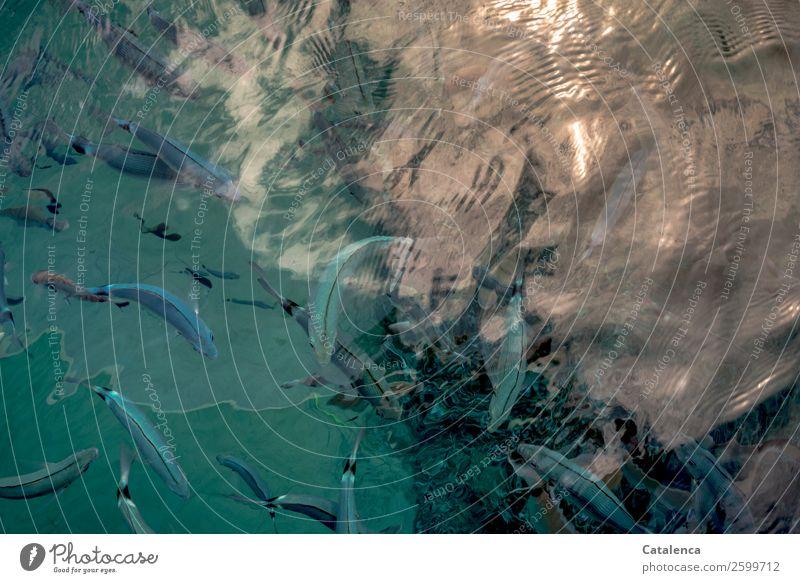 Blaue Fische tauchen Schnorcheln Natur Tier Wasser Sonnenlicht Sommer Schönes Wetter Wellen Meer Mittelmeer Fischschwarm Brandbrasse Schwarm glänzend