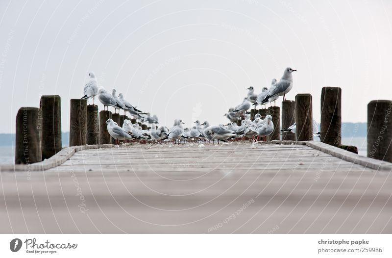 versammlung Ausflug Seeufer Tier Wildtier Vogel Tiergruppe Schwarm Holz Langeweile Möwe Steg Farbfoto Außenaufnahme Menschenleer Textfreiraum oben