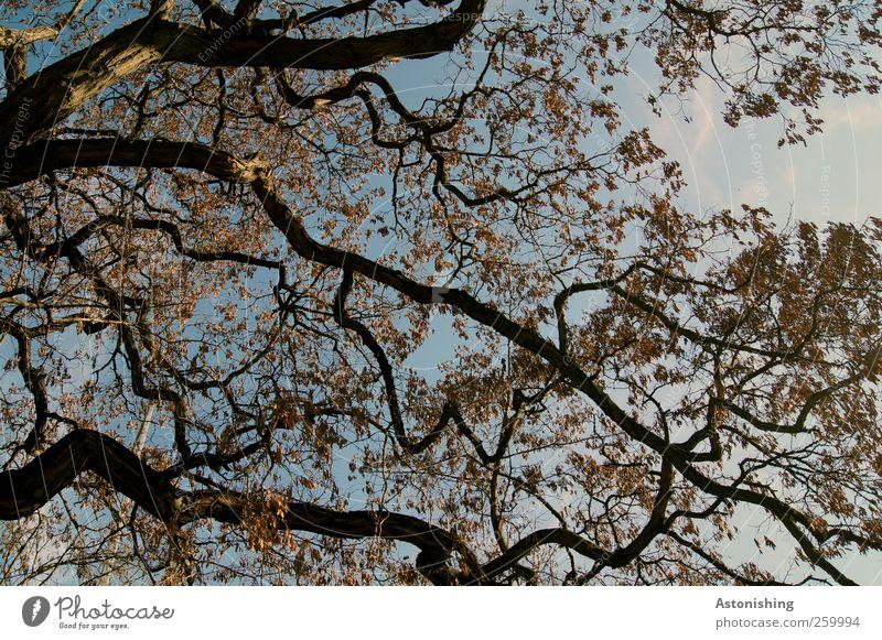 verzweigt Umwelt Natur Pflanze Luft Himmel Herbst Wetter Schönes Wetter Baum Blatt Wald hoch blau braun schwarz Geäst Zweige u. Äste Baumrinde dünn fein Muster