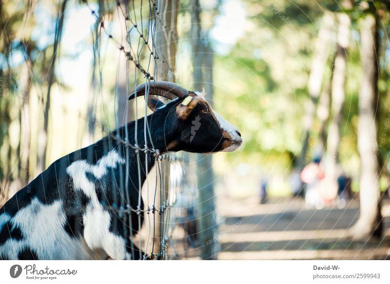 da will jemand raus... Umwelt Natur Herbst Schönes Wetter Wald Tier Nutztier Zoo Streichelzoo 1 beobachten Zaun gefangen Ziegen Horn Neugier festhängen Farbfoto