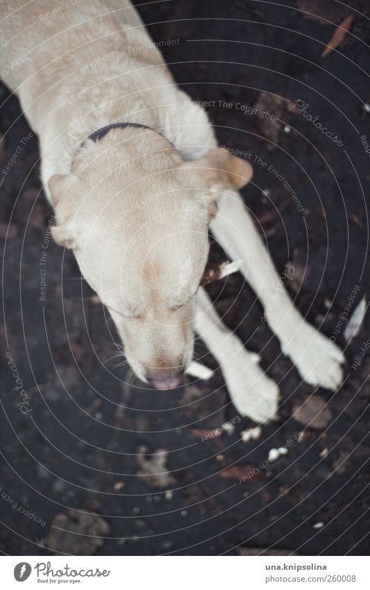 platz! Erde Tier Haustier Hund Fell Pfote 1 beobachten liegen kuschlig natürlich weich Labrador blond Retriever Hundeschnauze Farbfoto Gedeckte Farben