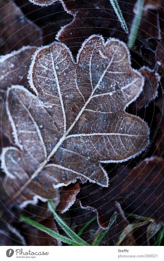 Eichenblatt mit Raureif in Winterkälte Wintereinbruch Kälteeinbruch heimisch nordisch nordische Kälte frieren kalt Kälteschock Eiskristalle Blattadern
