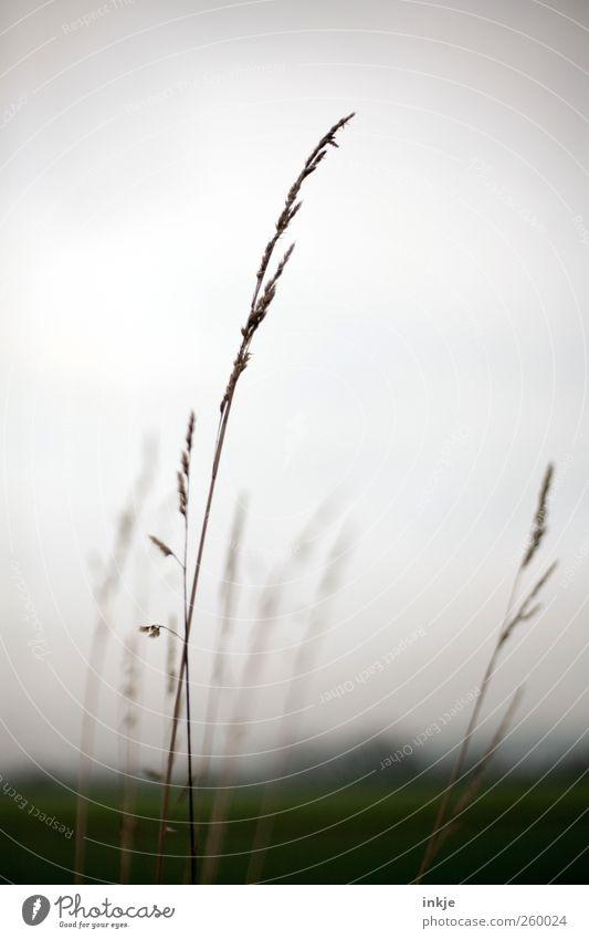 Gräser Umwelt Natur Landschaft Pflanze Himmel Horizont Herbst Winter Klima Wetter Nebel Gras Wildpflanze Wiese Feld Stadtrand Menschenleer dunkel dünn groß kalt