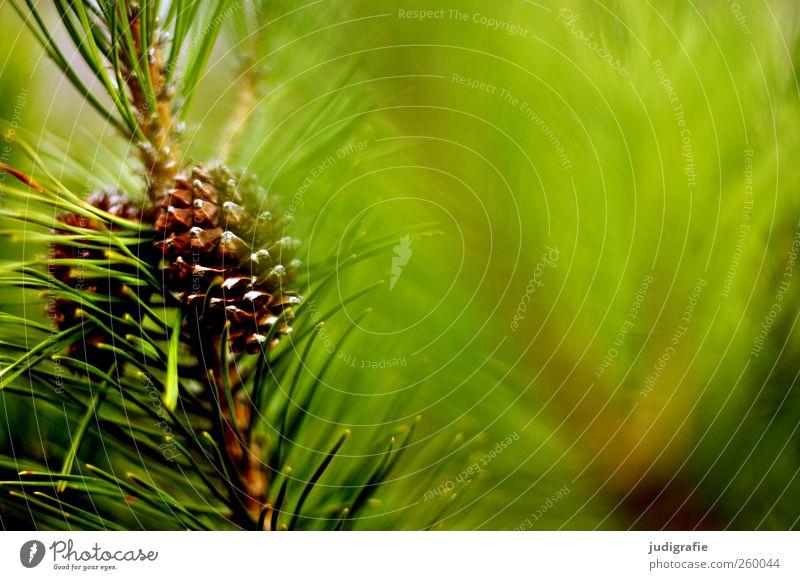 Wald Natur grün Baum Pflanze Umwelt Wachstum Spitze Zweig Kiefer Nadelbaum Tannenzapfen