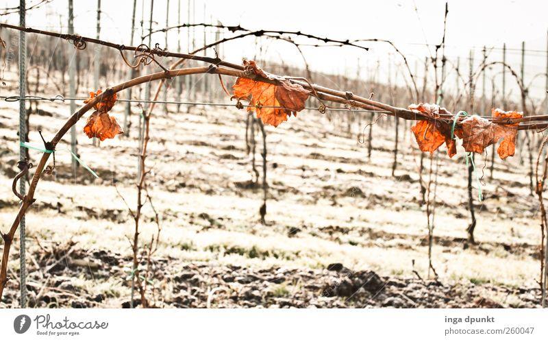 Winterwein Natur Pflanze Blatt Einsamkeit Umwelt kalt Landschaft Eis Klima Sträucher Frost Urelemente Wein Ernte Herbstlaub