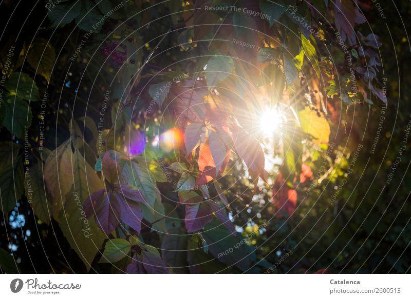 Sonnenfenster Natur Pflanze Herbst Schönes Wetter Blatt Wildpflanze Wilde Weinrebe Wilder Wein Garten glänzend leuchten Wärme braun gold grün violett orange