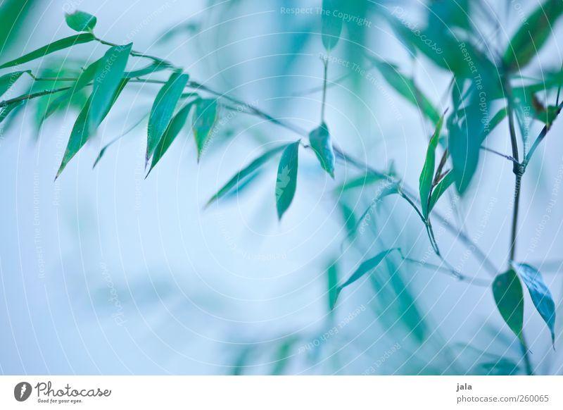 bambus Natur blau grün Pflanze Blatt Umwelt natürlich ästhetisch Sträucher Bambus